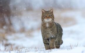 Обои зима, кот, снег, кошки, природа, дикий, лесной, лесной кот, европейский дикий лесной кот