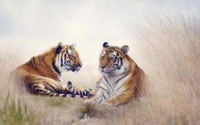 Картинка животные, природа, тигр, пара, тигры