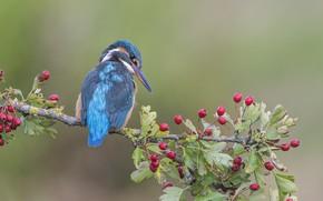 Обои ягоды, фон, птица, ветка, Зимородок