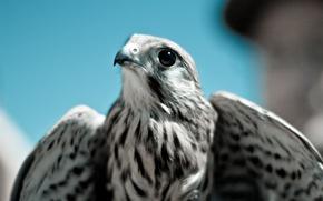 Картинка птица, хищник, клюв, Сокол