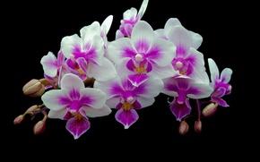 Обои орхидея, фон, соцветие, лепестки