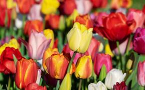 Картинка поле, цветы, яркие, весна, желтые, тюльпаны, красные, бутоны, разноцветные, много, поле тюльпанов