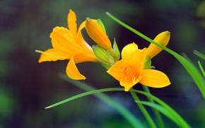 Картинка Боке, Bokeh, Желтые цветы, Yellow flowers, Yellow lily, Жёлтые лилии