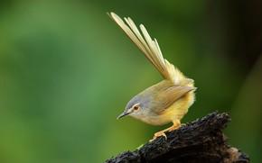 Обои желтобрюхая приния, пень, птицы, animal