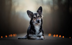 Картинка взгляд, собака, уши, боке