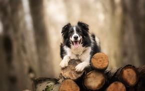 Картинка фон, собака, брёвна