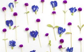 Обои цветы, Ирис, лепестки, Клевер