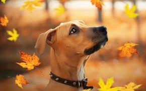 Картинка осень, листья, друг, щенок, стаффордширский терьер