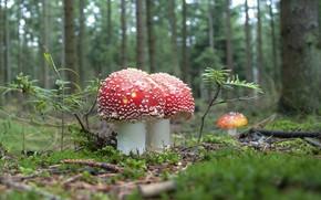 Картинка лес, грибы, мухоморы