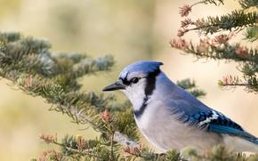 Картинка птица, ветка, клюв, голубая сойка