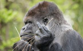 Обои горилла, обезьяна, жест, знак