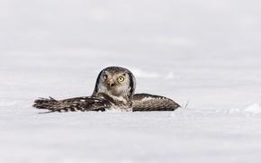 Картинка зима, снег, птица, крылья, ястребиная сова