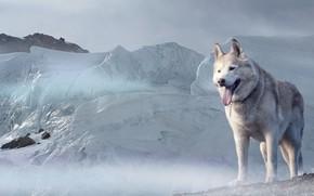 Обои взгляд, морда, снег, Собака, ледник, Хаски