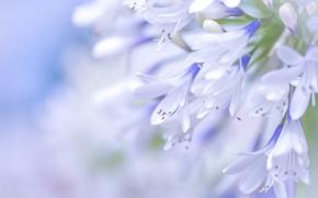 Картинка макро, голубой, агапантус