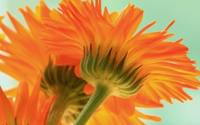 Картинка макро, оранжевый, календула