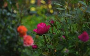 Картинка Дождь, Бутоны, Розы, Nature, Rose, Rain