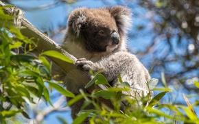Картинка животные, листья, ветки, дерево, Австралия, дикая природа, коала, эвкалипт, сумчатые