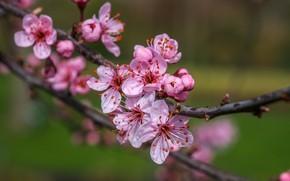 Картинка цветы, ветки, природа, вишня, фон, весна, цветение