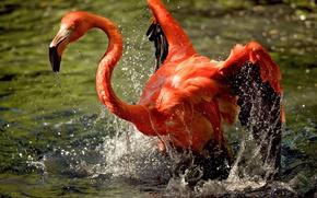 Картинка вода, брызги, птица, фламинго