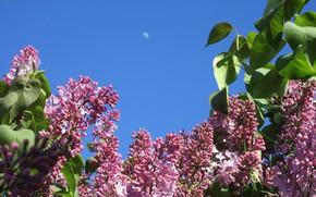 Картинка небо, луна, красота, утро, сирень, весна 2018, Mamala ©