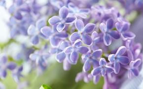 Картинка цветы, сирень, листья, весна, цветение