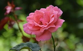 Картинка Flower, Розовая роза, Pink rose