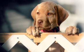 Картинка взгляд, забор, собака, мордочка, щенок, Лабрадор-ретривер