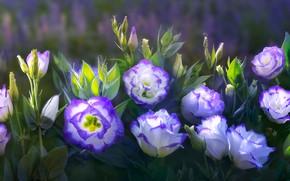 Обои эустома, бутоны, эустомы, фиолетовый, листья, композиция, обработка, природа, арт, фон, зеленый, цветы