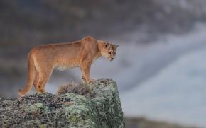 Картинка фон, камень, дикая кошка, Пума, Горный лев