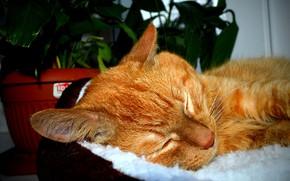 Картинка кот, цветы, сон, окно, рыжий