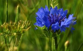 Обои макро, полевой цветок, василек, цветок