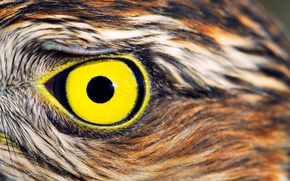 Картинка feathers, yellow, Owl, eye