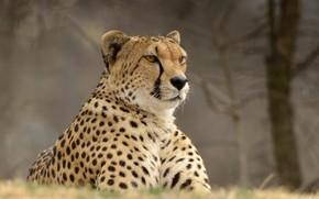 Картинка портрет, гепард, дикая кошка