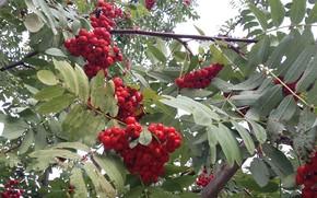 Картинка осень, листья, ягоды, ветви, гроздья рябины