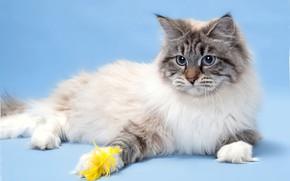 Обои невская маскарадная, шерсть, порода, кот