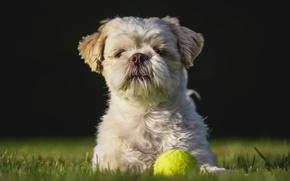 Картинка друг, лужайка, Ши-тцу, собака