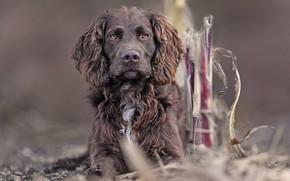 Картинка Немецкий спаниель, Немецкая перепелиная собака, Немецкий вахтельхунд
