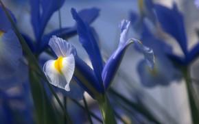 Картинка цветок, роса, капля, лепестки, ирис