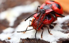 Картинка эротика, макро, любовь, насекомые, фон, весна, размытость, пара, жуки, красные, парочка, два, 18+, жучки, спаривание