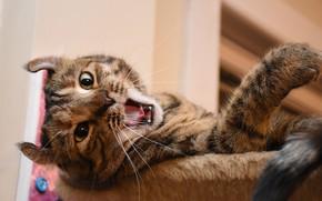 Картинка кот, зевает, котейка