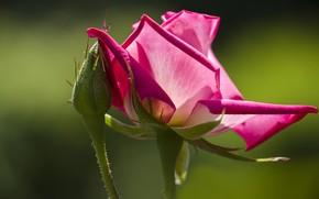 Картинка цветок, макро, фон, роза, цвет