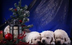 Картинка щенки, Новый год, белые, трио, ретривер