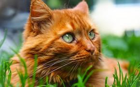 Картинка кошка, трава, взгляд, портрет, мордочка, рыжий кот, котейка