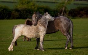 Картинка зелень, поле, лето, трава, любовь, природа, настроение, конь, газон, лошадь, забор, кони, лошади, пастбище, луг, …