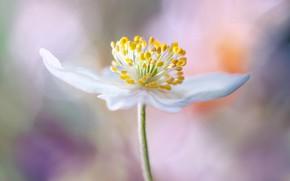 Обои серединка, цветок, макро