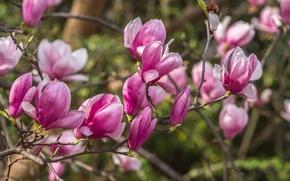 Обои розовый, весна, магнолия, дерево