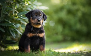 Картинка собака, щенок, Босерон, Французская овчарка