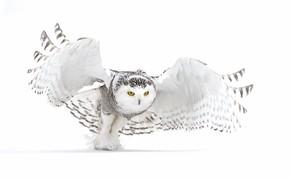 Картинка зима, снег, сова, белая сова