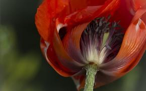 Картинка цветок, мак, лепестки