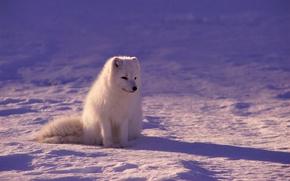 Обои зима, песец, свет, снег